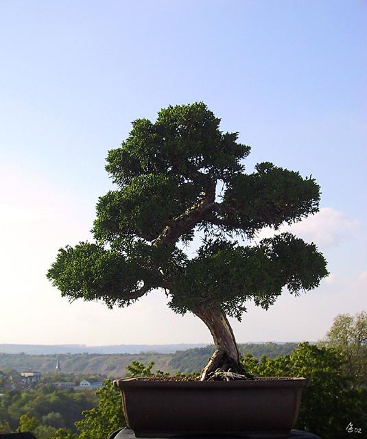 martins bonsai wacholder. Black Bedroom Furniture Sets. Home Design Ideas